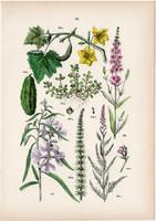 Clarkia, vízilófark, réti füzény, uborka, tamariska litográfia 1884, német, eredeti, növény, virág