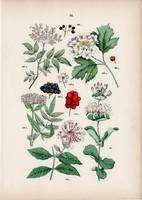 Fekete bodza, földi bodza, kányabangita, búbos lonc litográfia 1884, német, eredeti, növény, virág