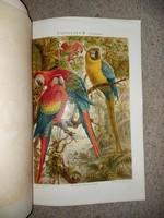 Két cromolitográfia, a Meyers Conversations Lexikon-ból, 4.kiadás, 1870 környékéről, papagályok